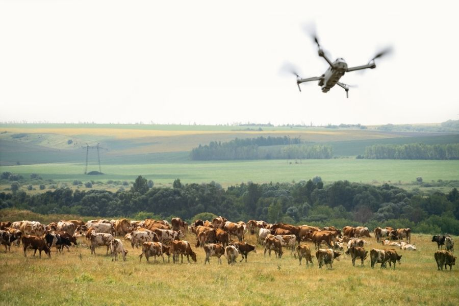 Drone flying near grazing cows